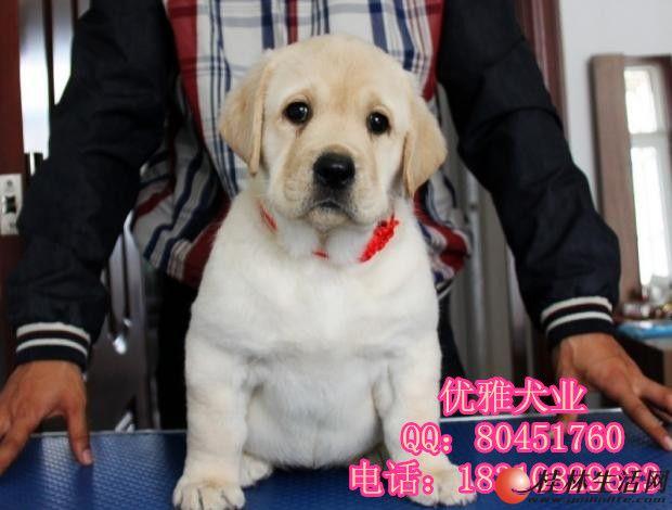 奶油 黑色 赛级拉布拉多犬 纯种拉布拉多犬价格