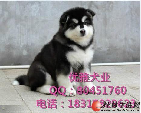 纯种阿拉斯加 北京阿拉斯加犬价格 直销高品质阿拉斯加幼犬