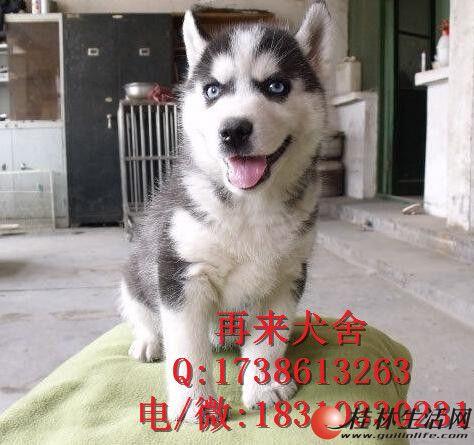 出售哈士奇 哈士奇幼犬 纯种哈士奇价格