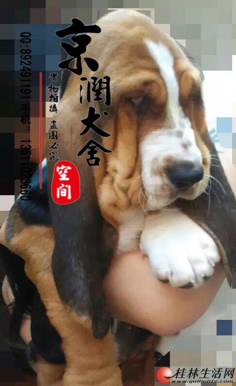出售纯种双血统巴吉度幼犬 巴吉度图片 巴吉度小狗