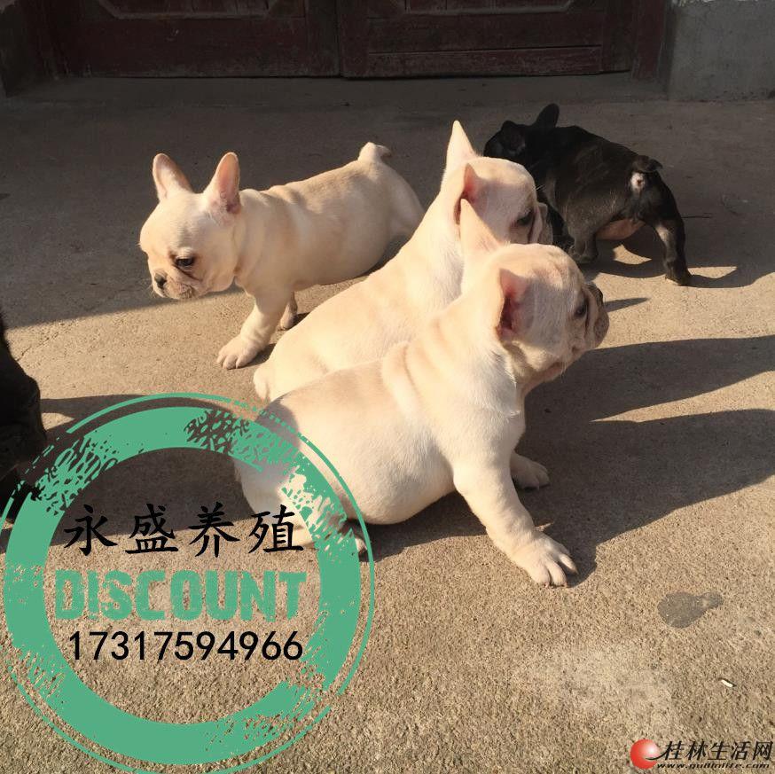 自家养殖的纯种法牛犬 保证纯种健康 近距离可上门自提