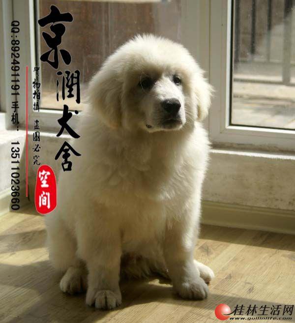 纯种大白熊犬的价格 巨型大白熊 熊版大白熊