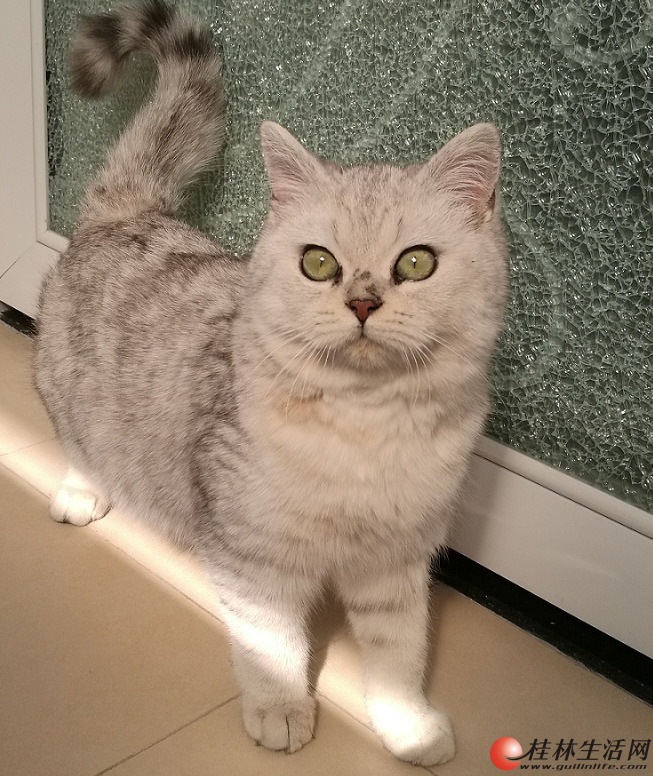 出售自养纯种英短银渐层6个月小公猫