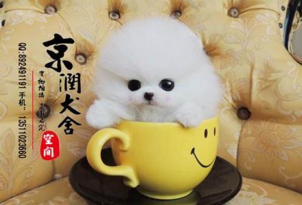 哈多利球体小博美犬的价格 俊介幼犬