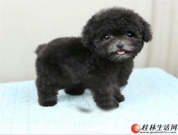 实物拍摄泰迪幼犬,保纯种健康,可见父母