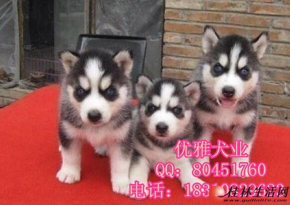 纯种哈士奇幼犬 纯种哈士奇幼犬出售 纯种哈士奇幼犬出售