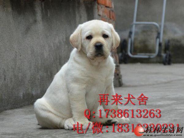 北京拉布拉多 赛级拉布拉多,打完疫苗,血统纯种