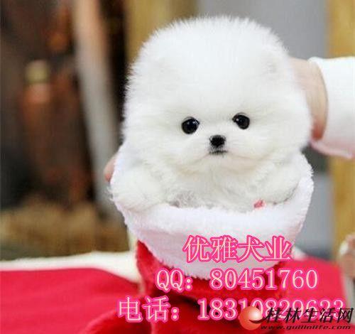 纯种球体博美、可爱小毛球 幼犬出售