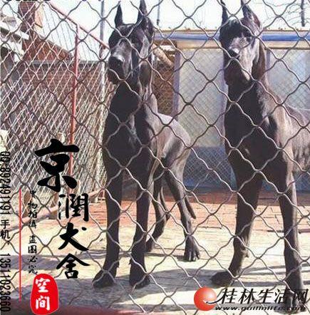 纯种金丹犬的价格 黑丹犬图片 花丹多少钱一只 桂林有卖大丹的吗