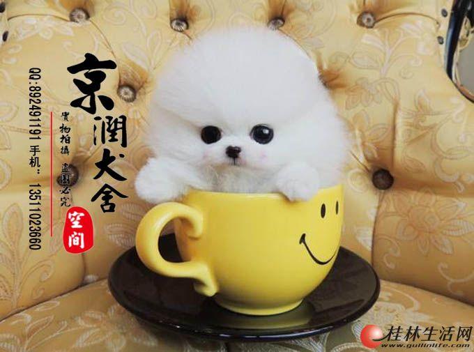 桂林有卖茶杯犬的吗 桂林卖宠物狗的 桂林有卖小博美的吗