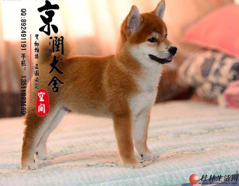 桂林有卖小柴犬的吗 桂林小柴犬的价格 柴犬多少钱一只