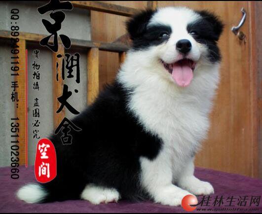 桂林有卖边境牧羊犬的吗 桂林宠物狗的价位 桂林卖小狗的
