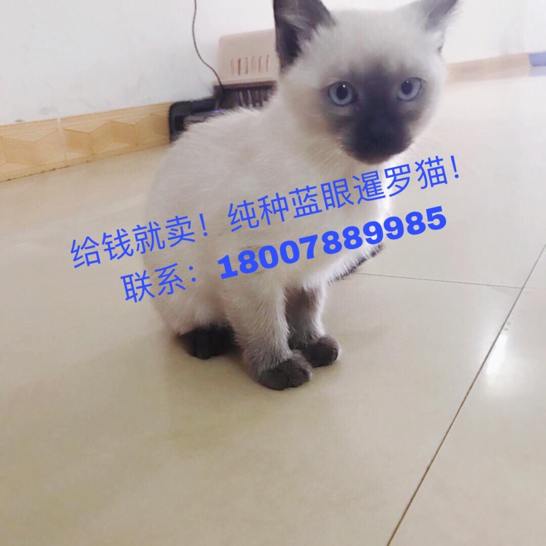 2个月大蓝眼暹罗猫便宜出售18007889985周先生