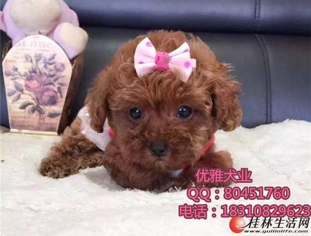 出售泰迪,泰迪幼犬,超小卡哇伊泰迪犬,包纯种签协议