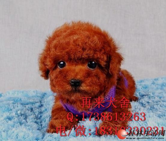 北京哪里有卖泰迪的 幼犬好不好养活