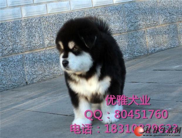 纯种巨型熊版阿拉斯加价格多少 阿拉斯加自家繁殖幼犬