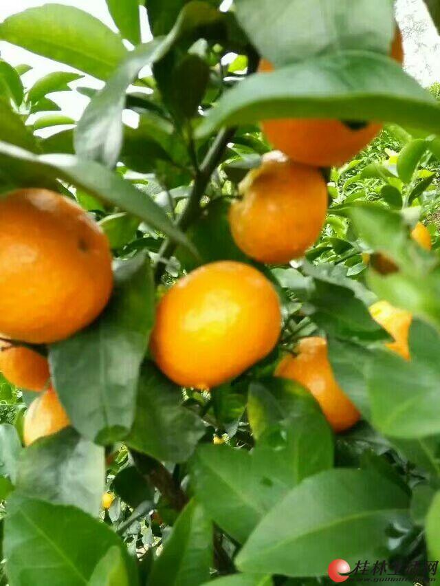 优质砂糖橘成熟啦!!!!