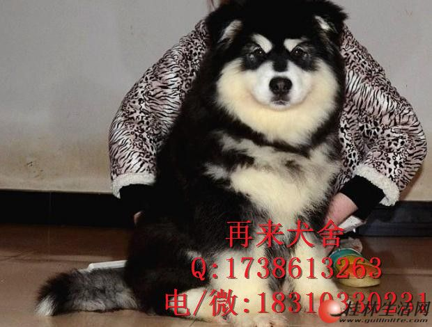 北京阿拉斯加犬价格 熊版阿拉斯加 阿拉斯加多少钱