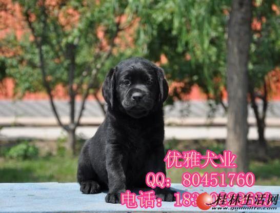 北京黑色拉布拉多价格 哪有纯种拉布拉多出售