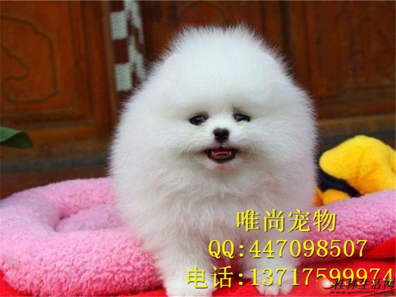 韩系博美犬价格 纯种韩系博美幼犬 哪里卖博美幼犬