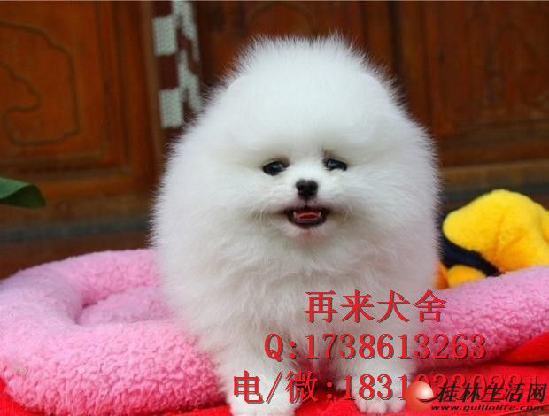 纯种博美幼犬价钱多少博美多少钱一只博美价位