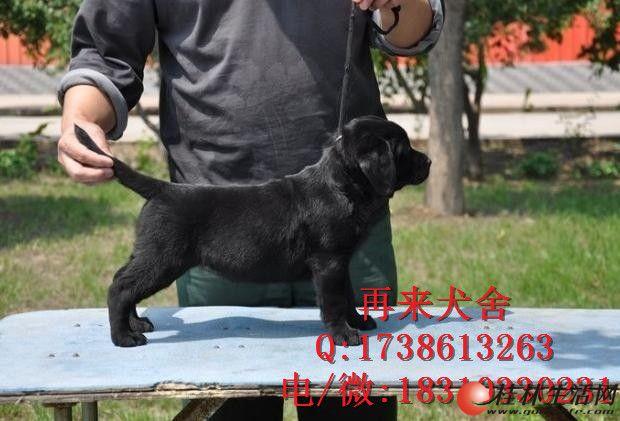 纯种拉布拉多价钱拉布拉多幼犬价位拉布拉多犬舍