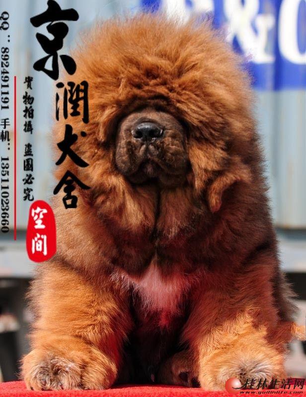 纯种狮头小藏獒幼犬出售 藏獒小狗多少钱一只