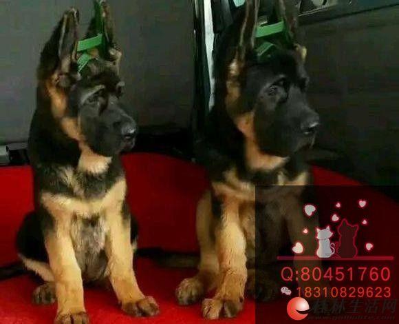 北京锤系德牧出售,纯种德牧出售 赛级德牧幼犬
