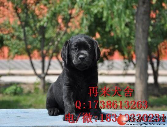 纯种拉布拉多 北京哪里卖拉布拉多犬 专业繁殖精品拉布拉多犬