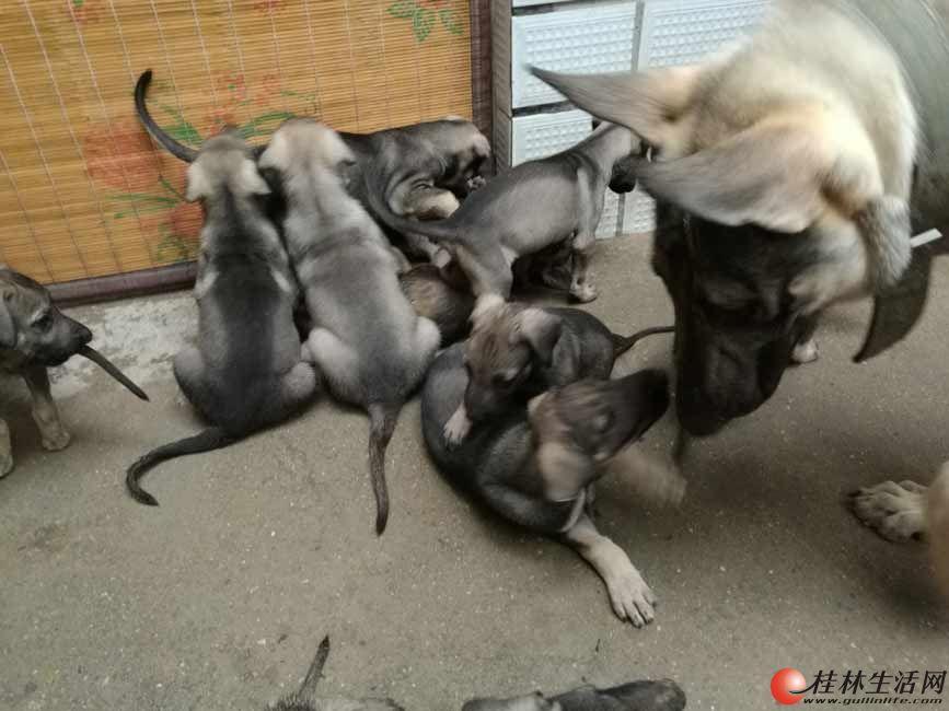 广西桂林纯种昆明犬卖什么价格昆明犬图片