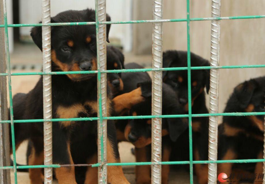 广西桂林哪里卖比较好的罗威纳犬出售
