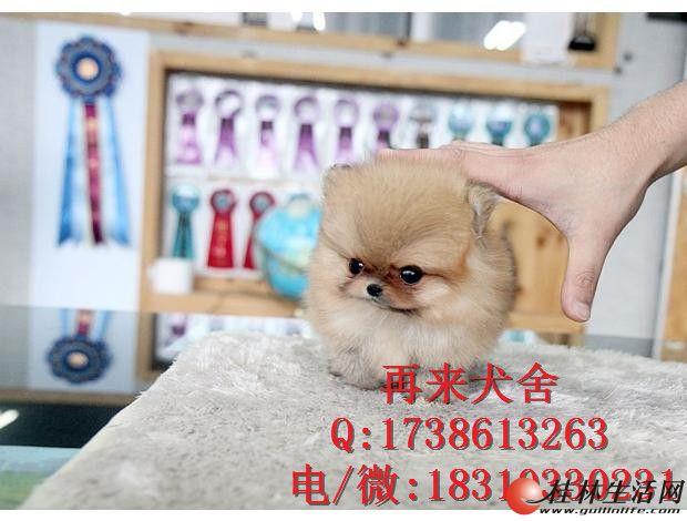 出售纯种博美幼犬,纯种血系,质保健康