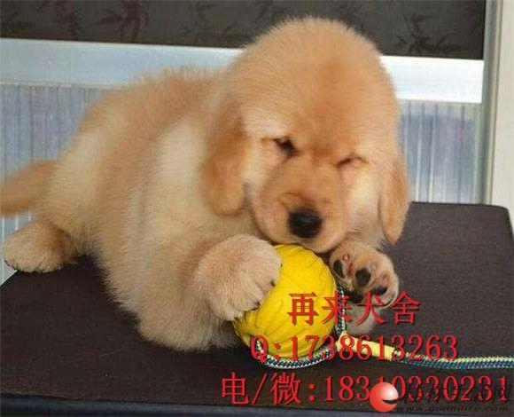 纯种金毛犬 赛级金毛犬出售 北京金毛犬什么价格