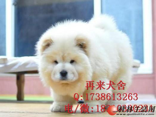 纯种肉嘴松狮 北京松狮犬多少钱一只 超大骨量松狮犬 签署协议