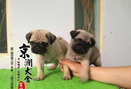哪里有卖纯种的小巴哥 纯种的巴哥犬的价格 巴哥价位高吗