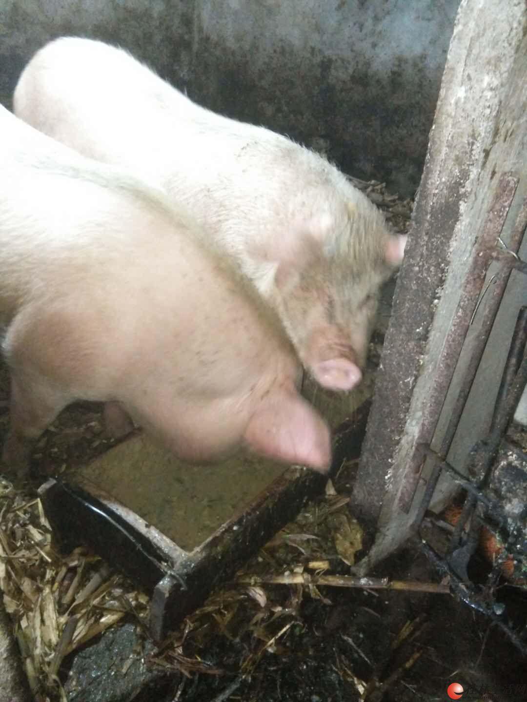 大山80岁老人养的一年纯土猪,过年土猪