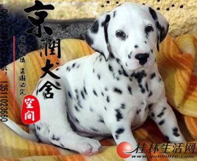 家里有老人能养斑点小狗吗 斑点犬的特点 斑点狗的价位高吗