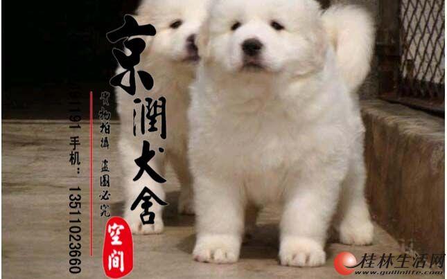 哪里有卖纯种的大白熊小狗 大白熊犬咬人吗