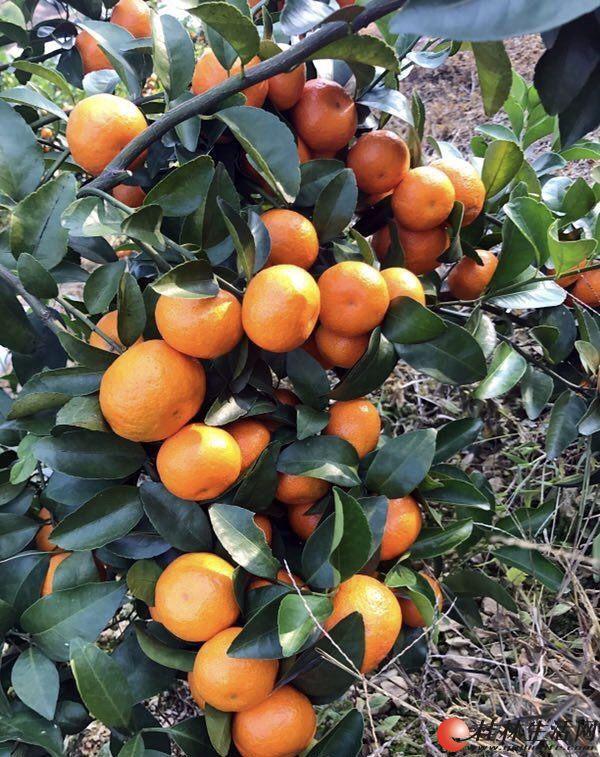 出售砂糖橘  请收购砂糖橘的老板与我联系