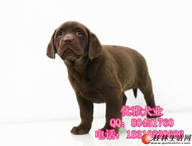 北京纯种拉布拉多犬多少钱 奶白色拉布拉多 签协议 可全国包邮