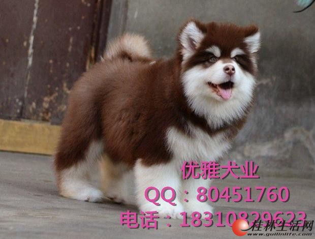 北京纯种阿拉斯加犬多少钱 巨型阿拉斯加 狗场直销 签质保协议