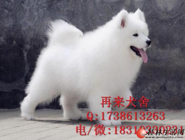 纯种萨摩耶 北京萨摩耶犬价格 双眼皮纯白萨摩耶幼犬 签署协议
