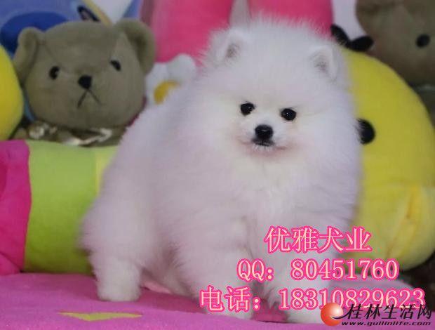 北京哪里出售博美犬 纯种哈多利博美犬价格 博美幼犬