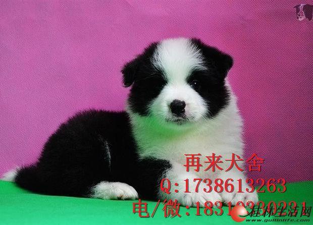 北京边牧犬多少钱 北京纯种边牧犬价格 边牧犬图片