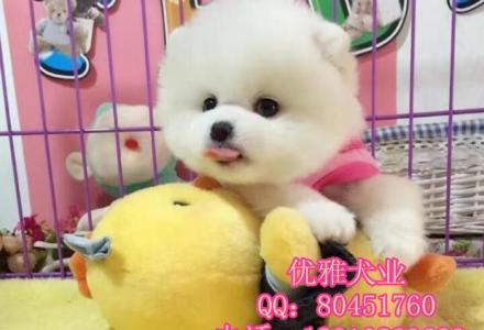 北京哪里有卖博美犬 北京哪里有狗场 博美犬多少钱