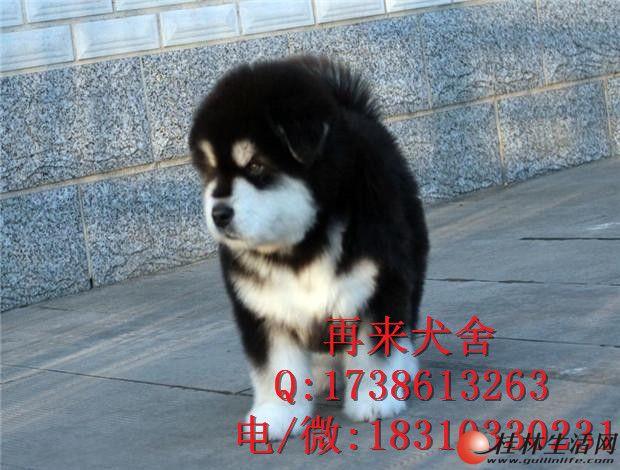 纯种阿拉斯加多少钱 巨型阿拉斯加犬