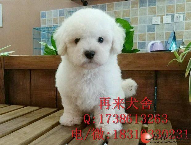 北京纯种比熊多少钱 纯种比熊幼犬 赛级比熊犬