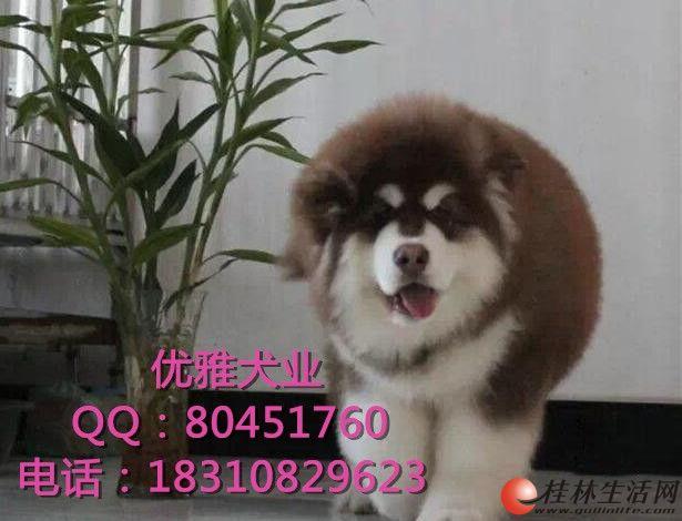 纯种阿拉斯加犬多少钱 北京哪卖阿拉斯加犬 签协议 可送货上门