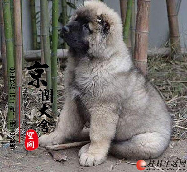 北京哪里有卖巨型的高加索小狗