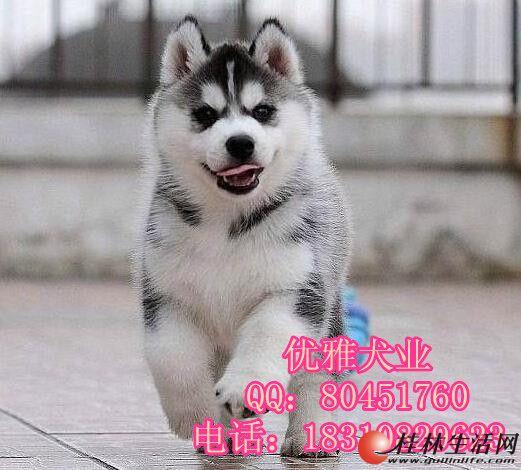 灰色二哈幼犬价格 北京市哪里有大型犬舍 北京哈士奇价格